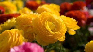 yellow-rose-widescreen-wallpaper